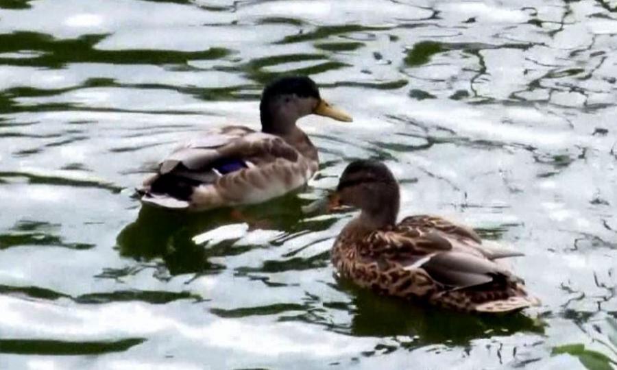ВКотласе городские водоёмы заполонили утки
