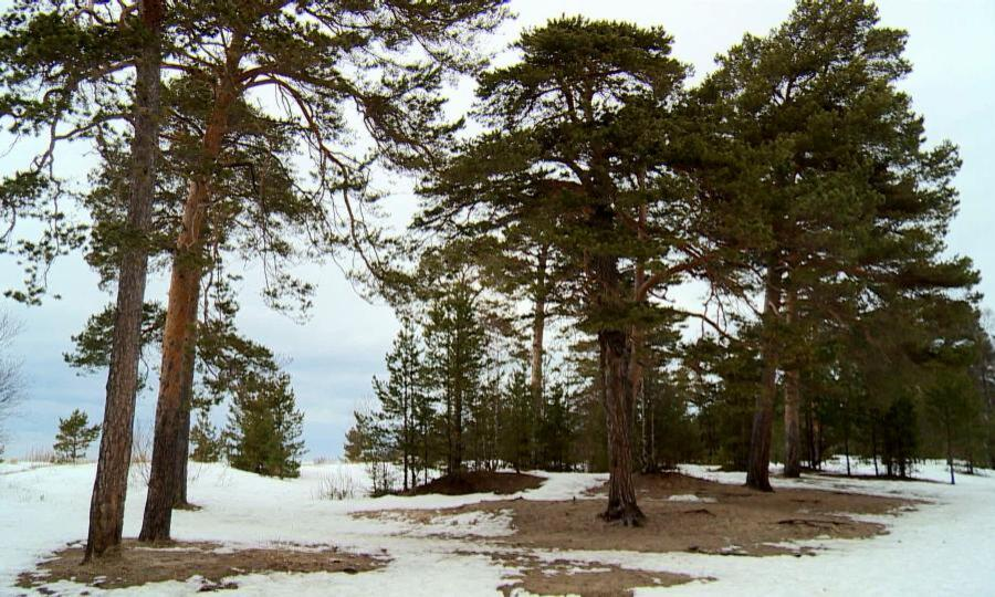 Над Ягринским сосновым бором вСеверодвинске повисла угроза вырубки