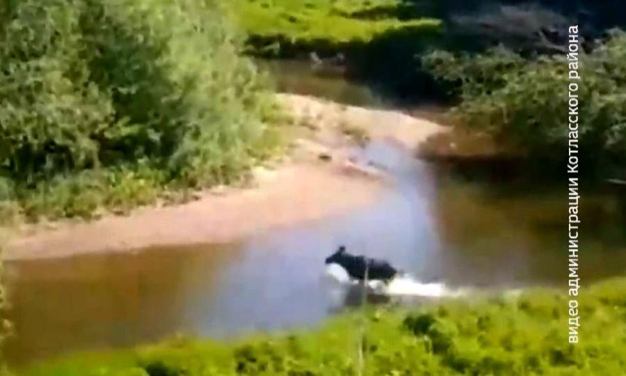 Около деревни Колосово в Котласском районе искупаться решили лоси